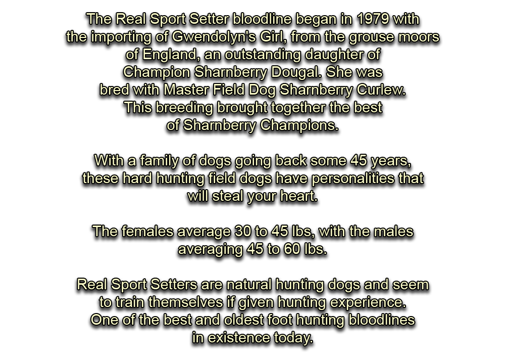 English Setters, Sharnberry champions, Gwendolyn's Girl, Hunting Dogs